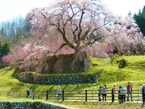 Matabee Sakura, el Cerezo más Conocido en Japón