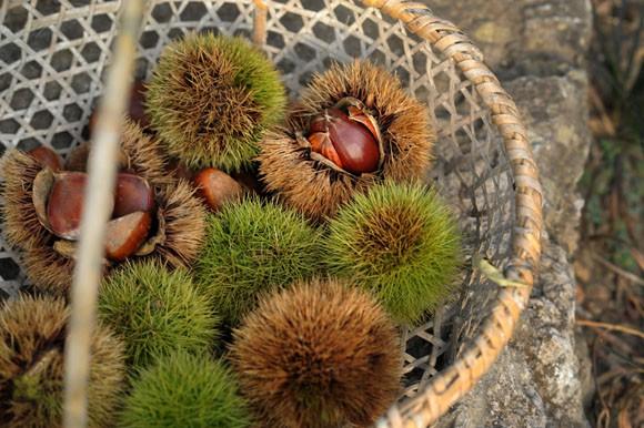 comida curiosidades japon sociedad tradiciones  La Castaña Japonesa, Kuri