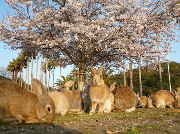 Okunoshima, la Isla de los Conejos...Cientos de conejos!