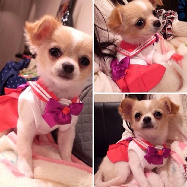 """actualidad animales anime curiosidades japon kawaii sociedad video  Cosplay de """"Sailor Moon"""" para Chihuahuas"""