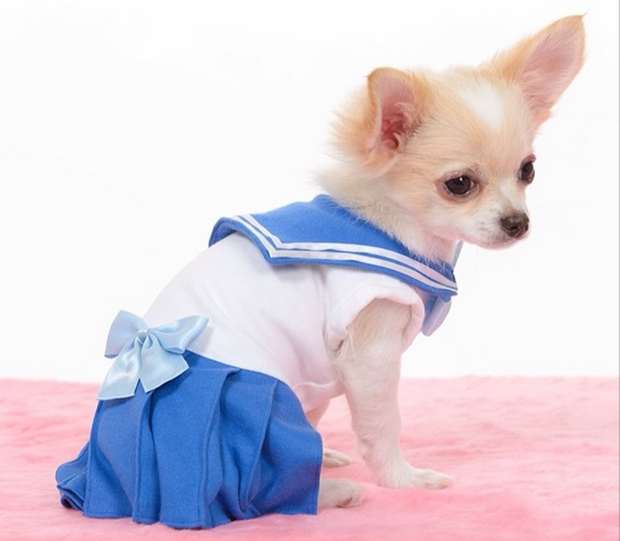 "actualidad animales anime curiosidades japon kawaii sociedad video  Cosplay de ""Sailor Moon"" para Chihuahuas"