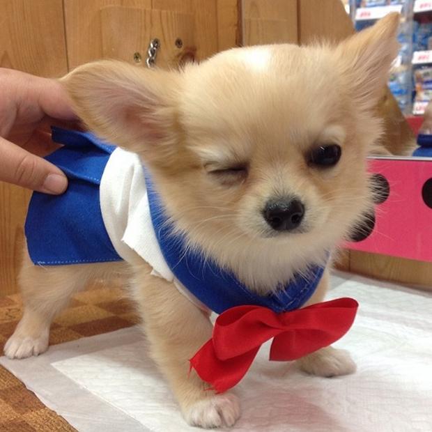"Cosplay de ""Sailor Moon"" para Chihuahuas"