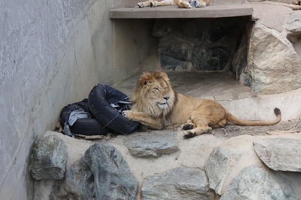 """animales curiosidades japon negocios ocio sociedad  Jeans """"diseñados"""" por los animales del Zoo"""
