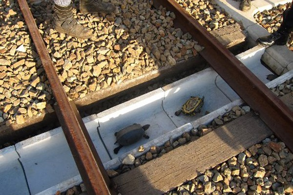 Un túnel ferroviario para tortugas!