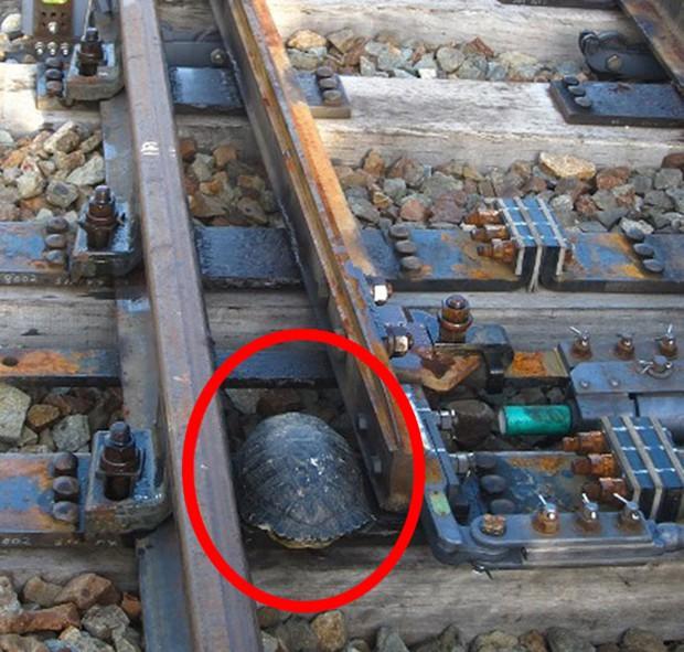 actualidad animales curiosidades japon  Un túnel ferroviario para tortugas!