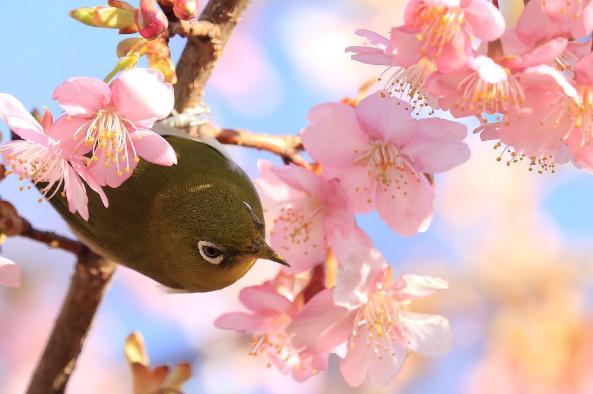 ¡Hanami temprano con Japonshop y productos Sakura a mogollón!