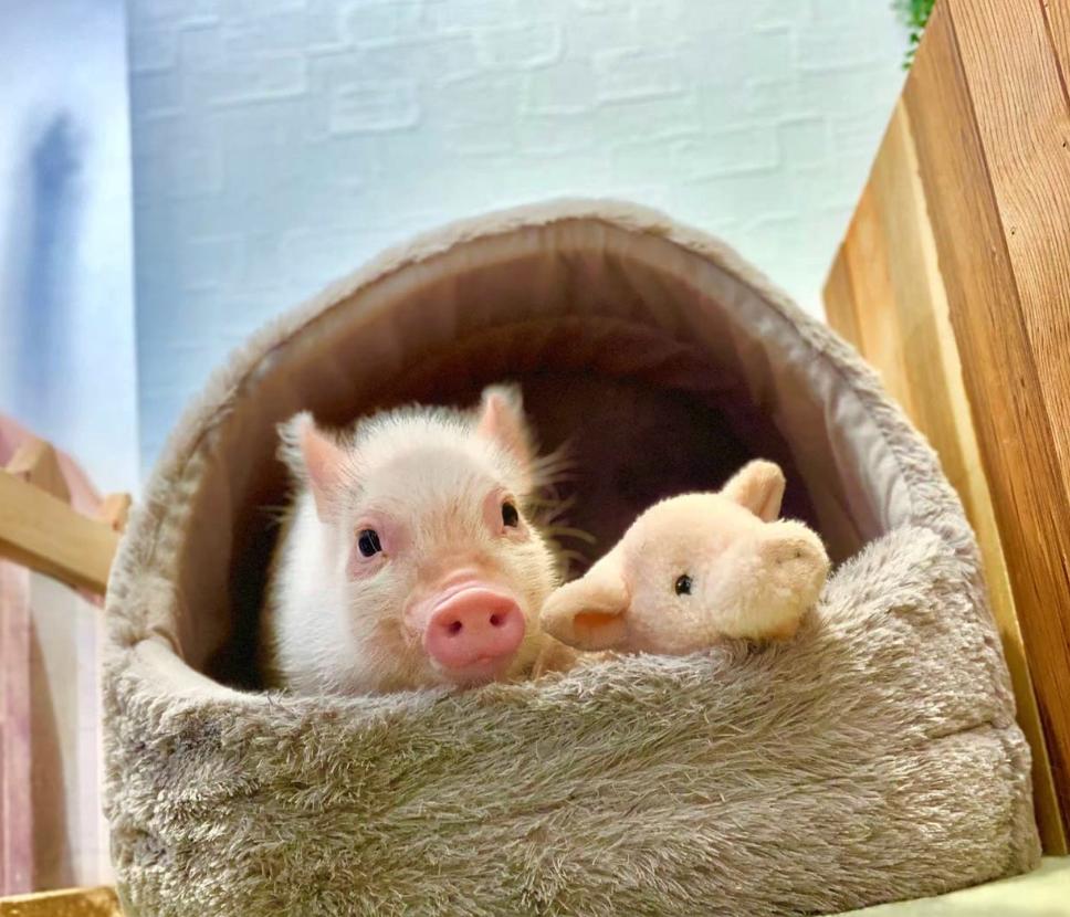 Mini cerdos