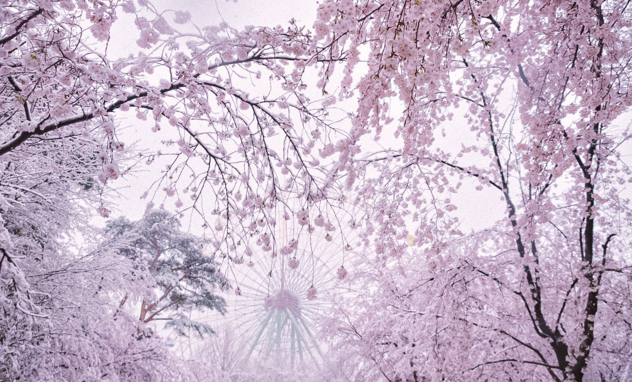 Nieve, Sakura y Ueno Park sin gente por el Coronavirus, un paisaje nunca visto