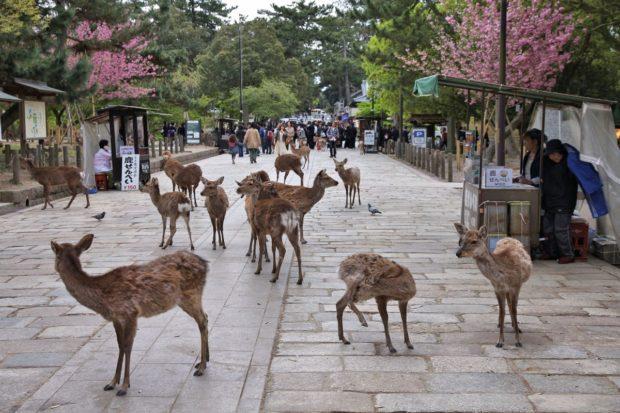 actualidad curiosidades japon  Te contamos como están los ciervos de Nara durante el Coronavirus