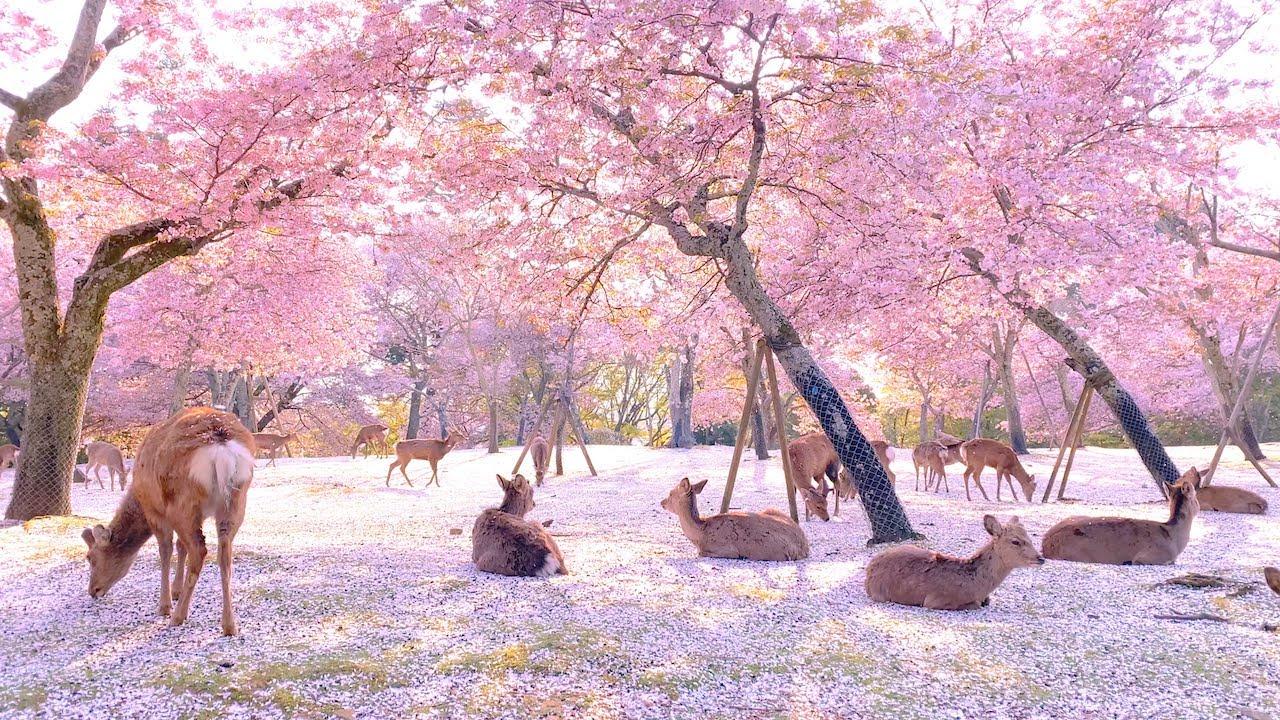 ¡Floración del cerezo en el Parque de Nara con ciervos y magia!