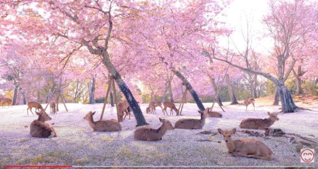 curiosidades japon  ¡Floración del cerezo en el Parque de Nara con ciervos y magia!