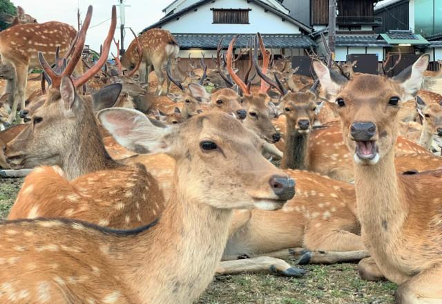 Los Ciervos de Nara superan en número, por mucho, a los visitantes