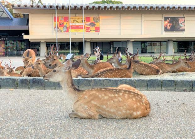 actualidad curiosidades japon  Los Ciervos de Nara superan en número, por mucho, a los visitantes